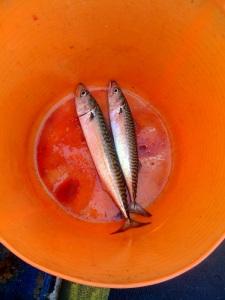 Fresh mackerel in a bucket