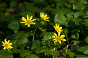 A small yellow flower with 9 petals